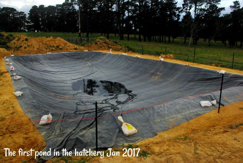 31-dec-the-first-pond-in-the-hatchery-jan-2017.jpg